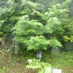 Sakaki - Shintō's sacred tree.
