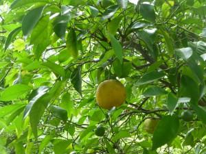 Daidai (Bitter orange)